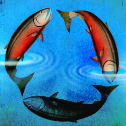 Sustainable Salmon illustration by Brian Stauffer